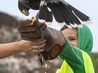 """Açores: Falcões """"patrulham"""" aterro e afastam gaivotas"""