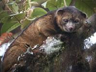 Olinguito, o mamífero carnívoro descoberto na América do Sul