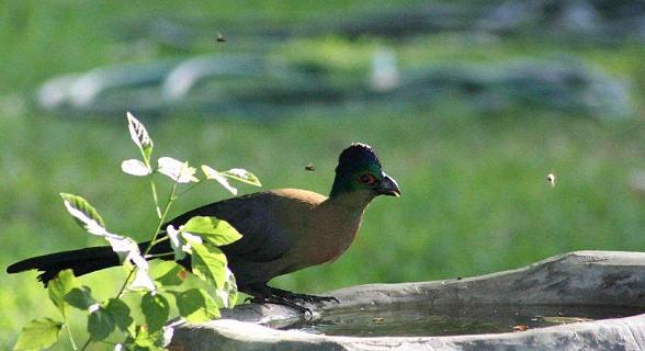 Purple Crested Touraco (Lourie)