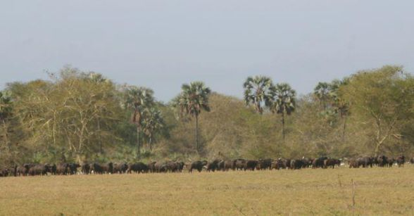 Manada de Búfalos | Herd of Buffalo