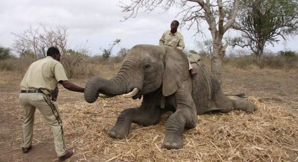 Projecto de interacção de elefantes no Kruger Park, África do Sul.