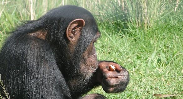 Santuário de chimpazés