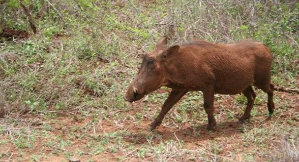 Javali - Kruger Park, África do Sul