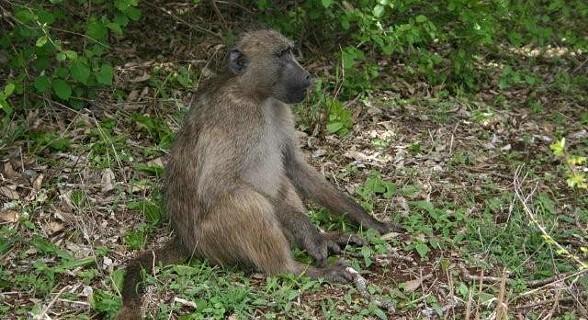 Macaco - Kruger Park, África do Sul