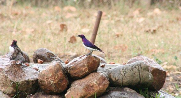 Violet-Backed (Plum-Coloured) Starling