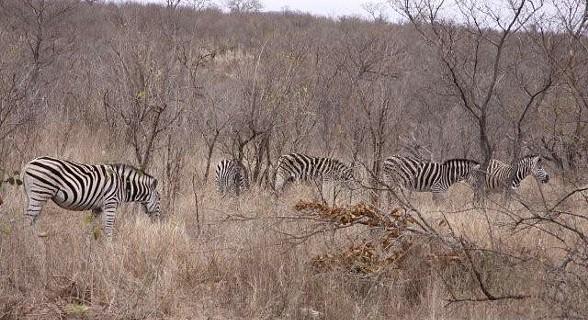 Zebras - Kruger Park - África do Sul