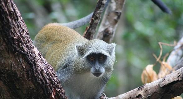 Macaco samongo