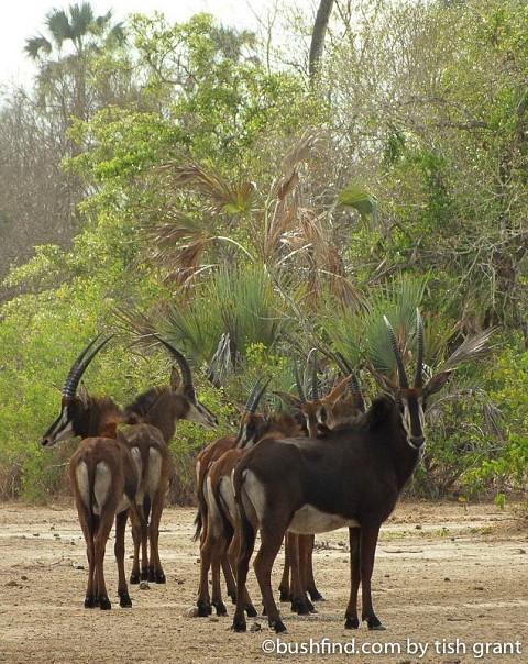 Sable herd