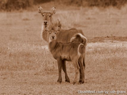 Waterbuck and calf