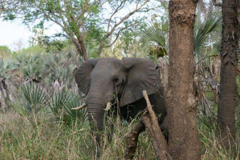Elefante | Elephant