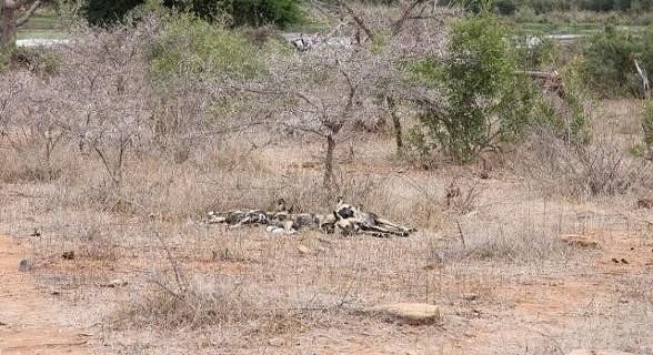 Cães selvagens - Kruger Park - África do Sul