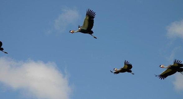 Grey Crowned Cranes