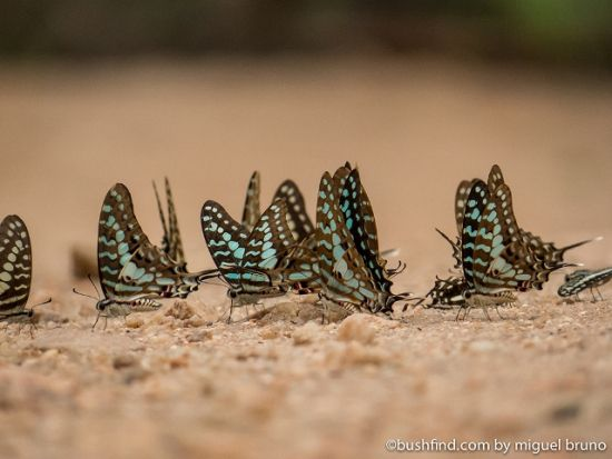 Blue vein Swallowtails
