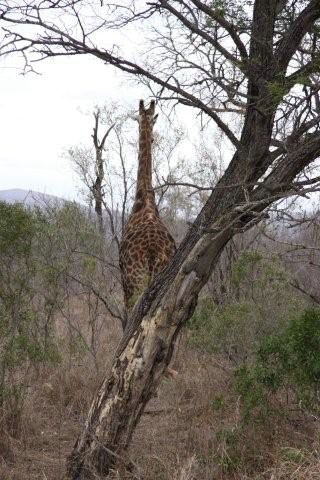 Girafas - Kruger Park - África do Sul