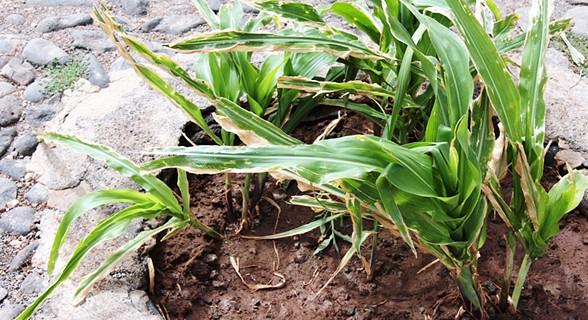 No recinto do farol, Malaquias plantou uns pés de milho nos canteiros e ainda um coqueiro