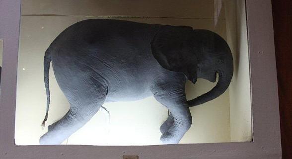Colecção de Fetos de Elefante, do Museu de Historia Natural.