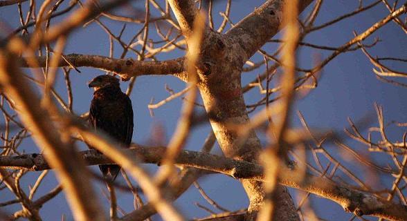 Bateleur Eagle (Juvenile)