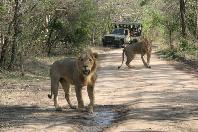 Leões | Lions
