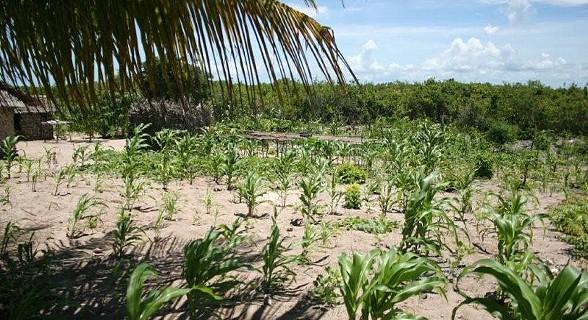 A população da ilha planta e semeia milho, mangueiras e pereiras