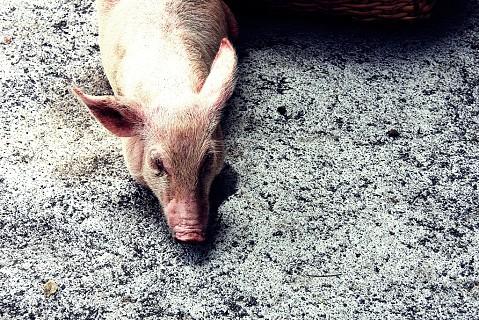 Animais como porcos, frangos e galinhas, também se vendem no mercado.