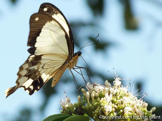 Bordered swallowtail